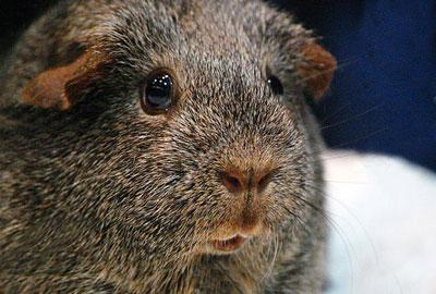 褐色刺毛天竺鼠