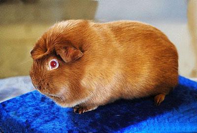 棕色凤冠天竺鼠