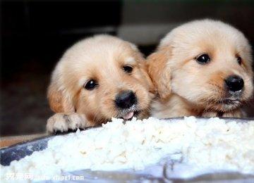 【金毛图片】小金毛寻回犬卖萌绝对