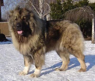 高加索犬|加索山脉犬