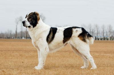 中亚牧羊犬|中牧