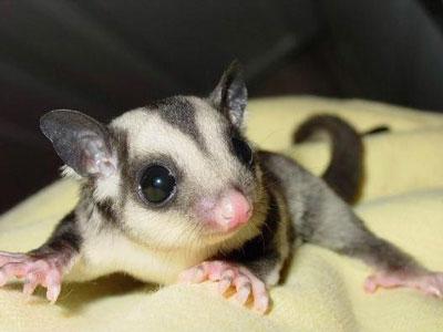 蜜袋鼯|澳洲飞袋鼠|糖袋鼯
