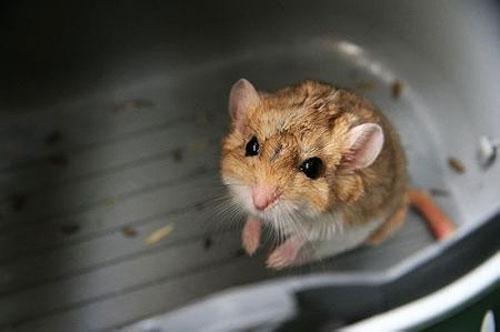 通心粉鼠|通心粉鼠|胖尾巴沙鼠