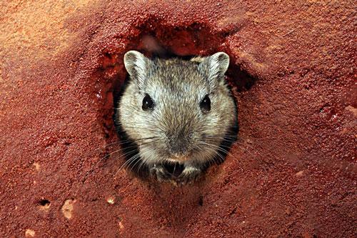 蒙古沙鼠|长爪沙鼠