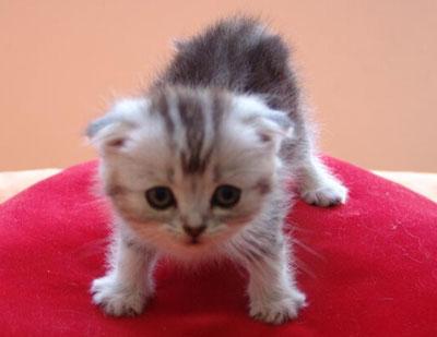 茶杯猫|迷你猫