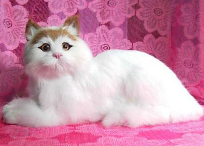 蒂凡尼猫|长毛缅甸猫