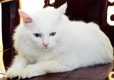 山东狮子猫|临清狮猫