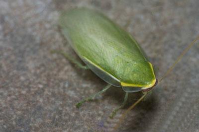 古巴蟑螂|绿香蕉蟑螂|