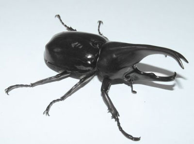 姬兜虫|吱喳虫