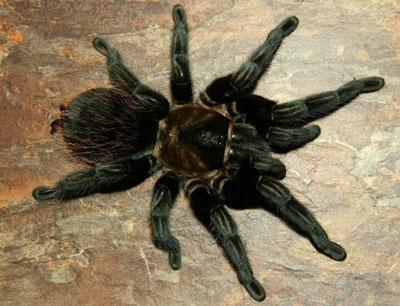 千里达老虎尾蜘蛛