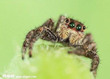 【跳蛛图片】微距拍摄跳蛛