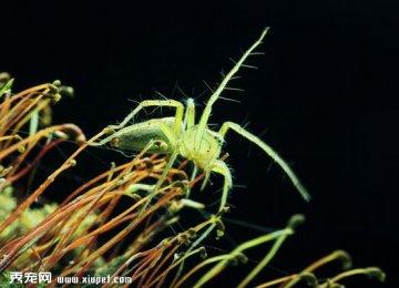 【花蟹蛛图片】绿色的蜘蛛
