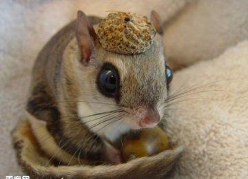 【日本小鼯鼠图片】萌眼日本小鼯鼠