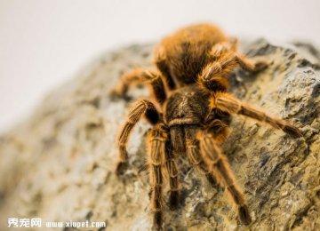 【红玫瑰蜘蛛图片】微距下的红玫瑰蜘蛛