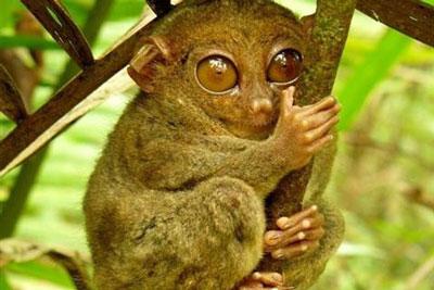 眼镜猴|跗猴