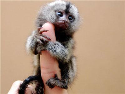 狨猴|拇指猴