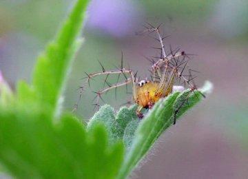 【三眼蜘蛛图片】萌萌哒的三眼蜘蛛
