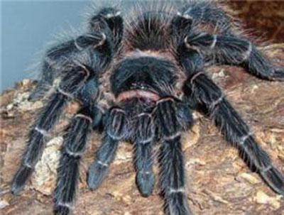 巴西所罗门食鸟蜘蛛|巴西鲑鱼红食鸟蜘蛛