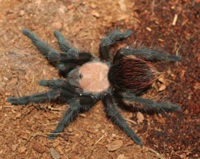 墨西哥金背红尾蜘蛛