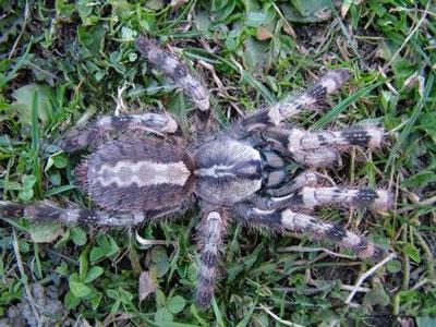 彼得逊华丽雨林蜘蛛|幽灵华丽雨林