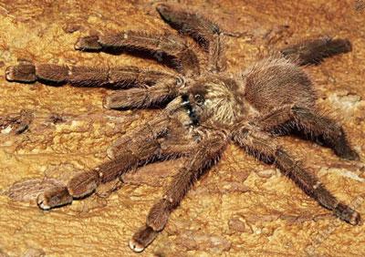 波多黎各粉红趾蜘蛛