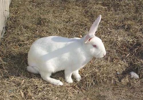 日本大耳兔