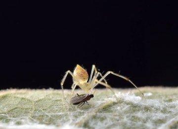 【虫宠图片】圆尾银板蛛图片
