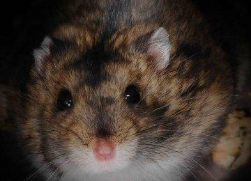 【宠物鼠图片】黑线仓鼠图片