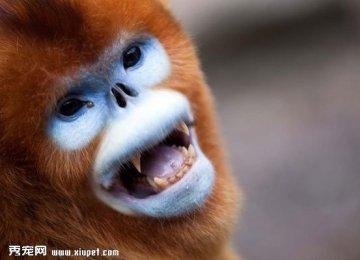 【金丝猴图片】川金丝猴图片
