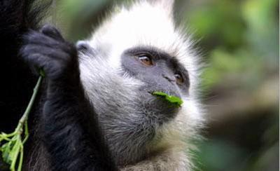 白头叶猴|金头叶猴|猫巴叶猴