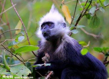 【宠物猴图片】白头叶猴高清图片