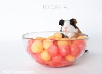 【宠物鼠图片】吃货荷兰猪