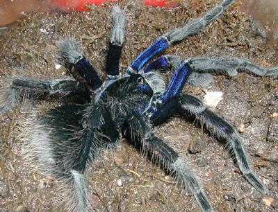 玻利维亚钢铁蓝蜘蛛