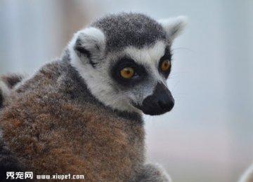 狐猴珍贵又可爱的动物