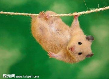 可爱的宠物仓鼠图片