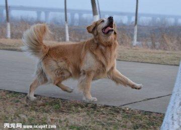 【金毛图片】漫步中的金毛寻回犬