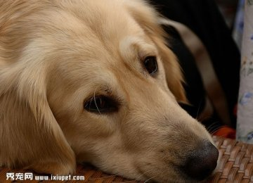 金毛寻回犬脸型高清特写照片