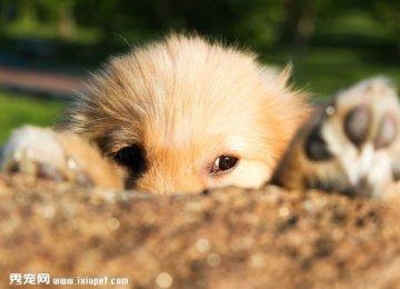 【小金毛图片】表情丰富的金毛幼犬
