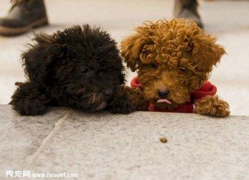 【泰迪图片】两只小泰迪的快乐时光