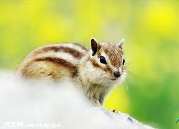 【花鼠图片】在丛林中奔跑的花鼠