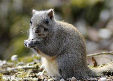 【黄山松鼠图片】黄山松鼠高清图片