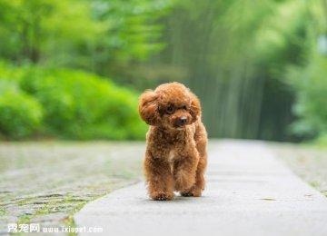 泰迪控专属|一组泰迪犬高清写真图