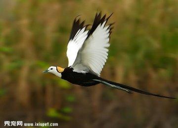 沼泽地抓拍的一组高清水雉鸟图片