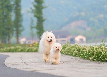 微笑天使萨摩耶和泰迪犬的生活记录
