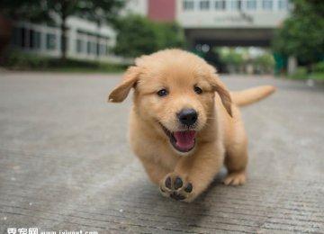 憨厚小金毛幼犬高清图片