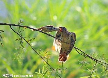 记录苇莺喂食杜鹃幼鸟的友爱过程