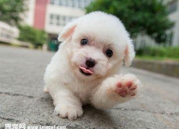 比熊幼犬超萌表情姿势 你受得了吗