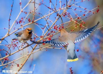静态观赏婀娜多姿的太平鸟
