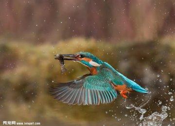 惊艳美图细节――翠鸟捕鱼瞬间