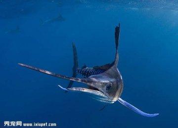 摄影师实拍黄旗鱼深海猎食场面壮观【图】